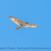 Buteo regalis Ferruginous hawk in flight 2018 02-12 Woodland-005