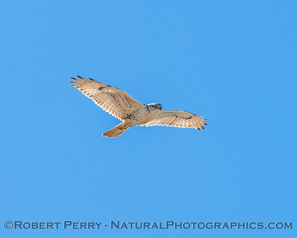Buteo regalis Ferruginous hawk in flight 2018 02-12 Woodland-005