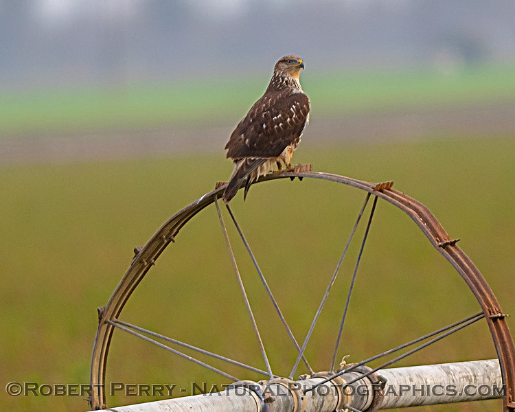 Buteo regalis on ag irrigation wheel 2019 01-19 Plainfield Elem--002