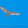 Buteo regalis Ferruginous hawk in flight 2018 02-12 Woodland-013