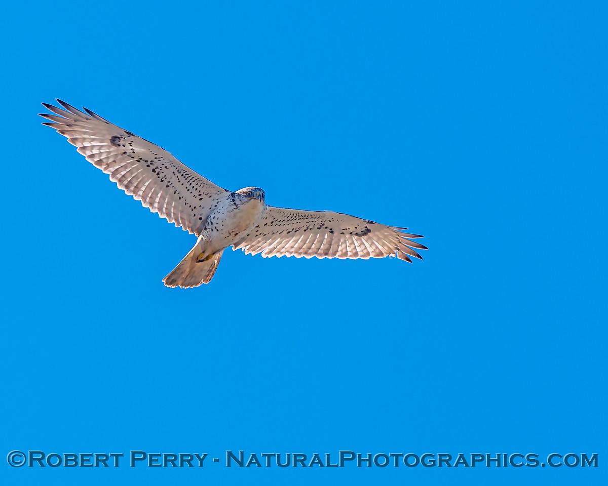 Buteo regalis Ferruginous hawk in flight 2018 02-12 Woodland-013
