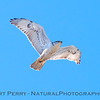 Buteo regalis Ferruginous hawk in flight 2018 02-12 Woodland-017