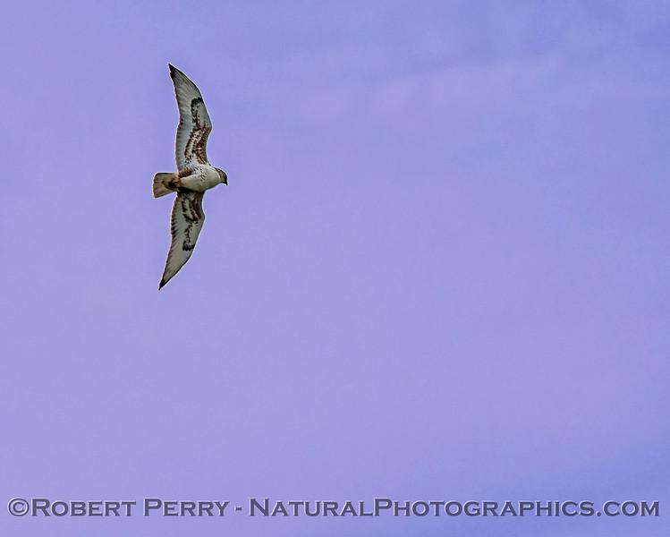 Buteo regalis Ferrugenous hawk in flight 2018 02-10 Woodland--027
