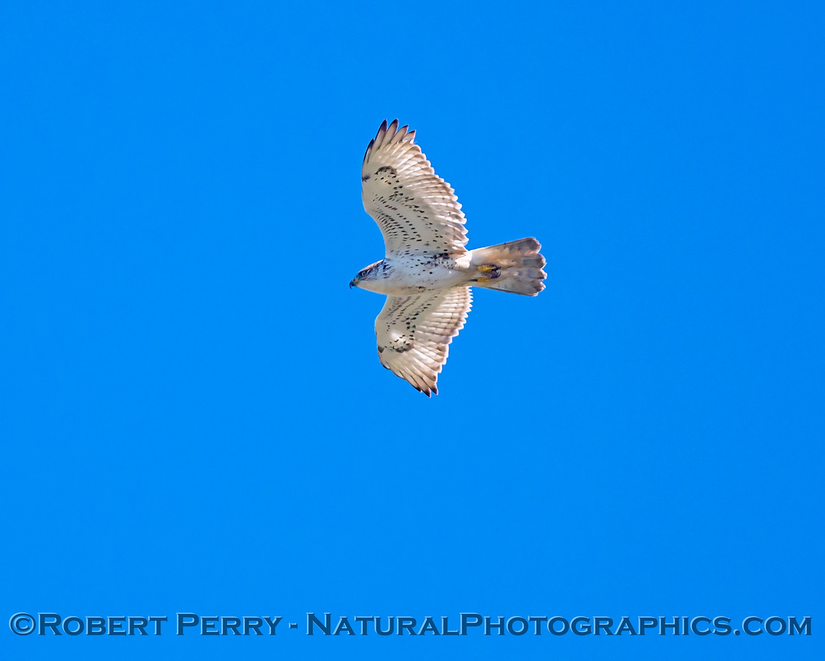 Buteo regalis in flight 2018 02-12 Woodland-v-011
