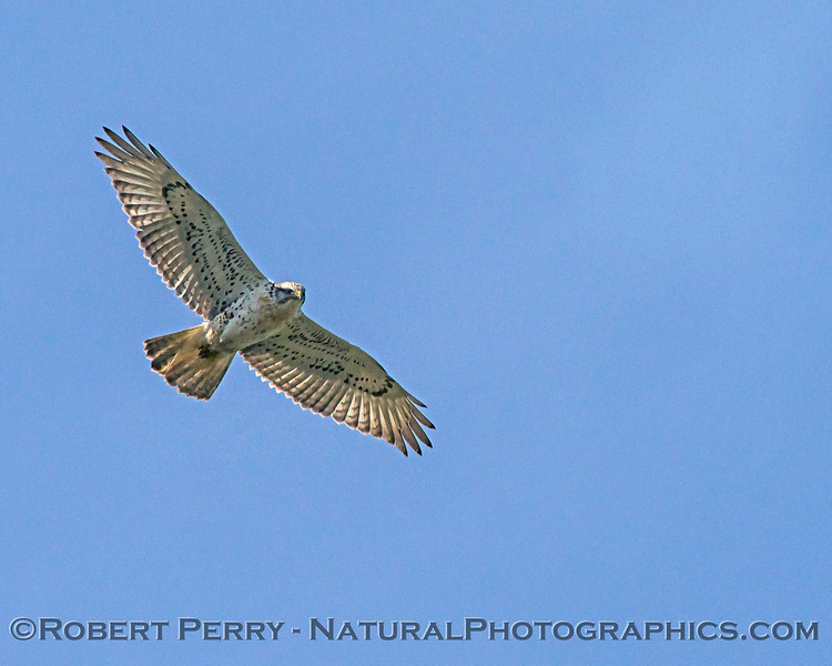 Buteo regalis in flight 2018 03-08 Woodland-c-057
