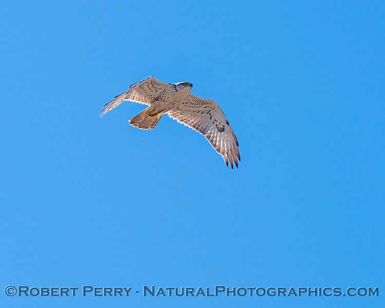 Buteo regalis Ferruginous hawk in flight 2018 02-12 Woodland-002