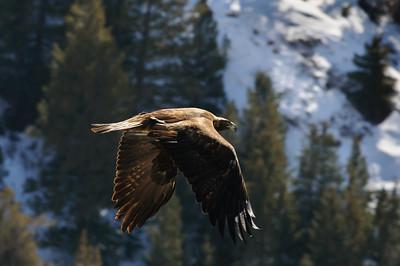 Golden Eagle-3762