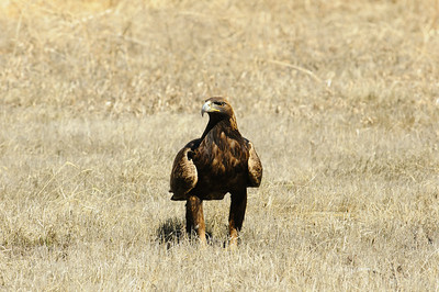 Golden Eagle-3978