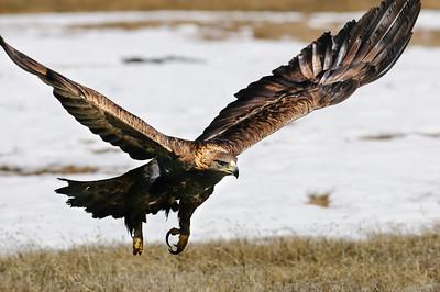 Golden Eagle-3907