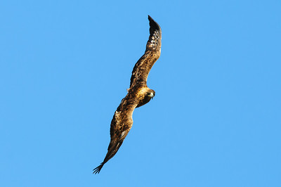 Golden Eagle-8631