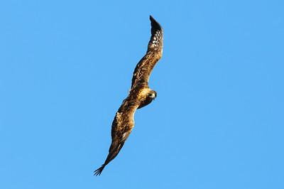 Golden Eagle-8631