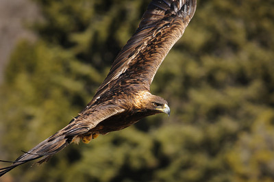 Golden Eagle-3856