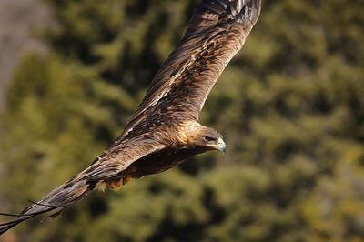 Golden Eagle-3856