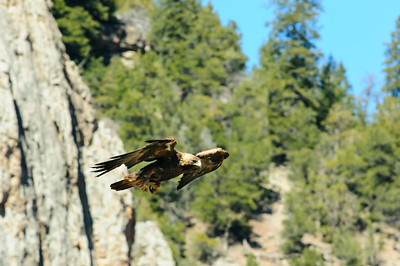 Golden Eagle-3971