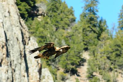Golden Eagle-3971