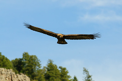 Golden Eagle-9725