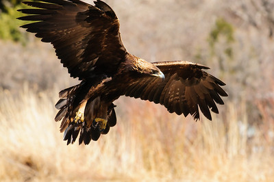 Golden Eagle-9580