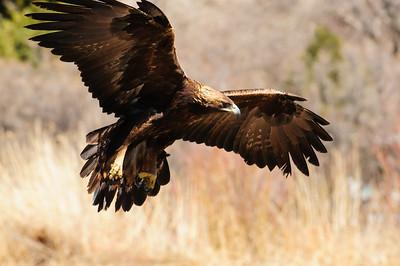 Golden Eagle-9580