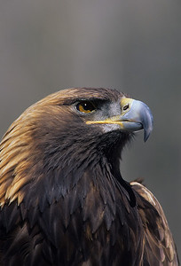 Golden Eagle-1004
