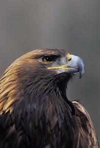 Golden Eagle-1004