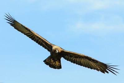 Golden Eagle-9726