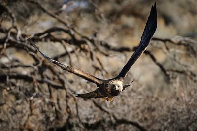 Golden Eagle-3243