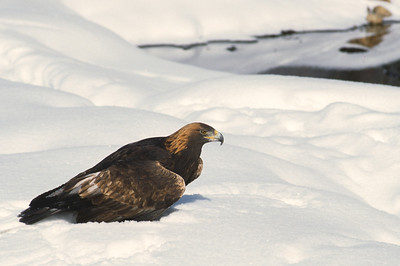 Golden Eagle-0050
