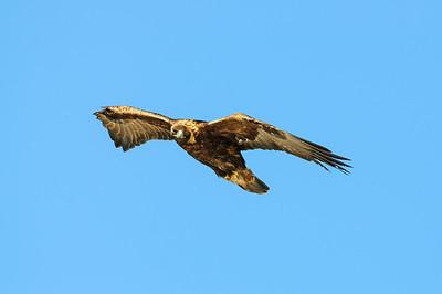 Golden Eagle-8637