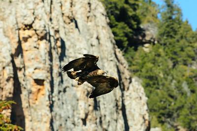 Golden Eagle-3970