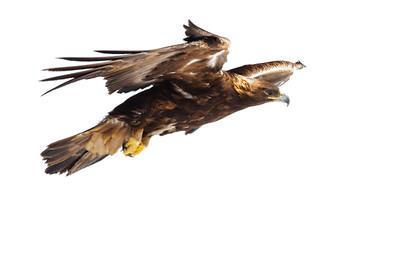 Golden Eagle-3782