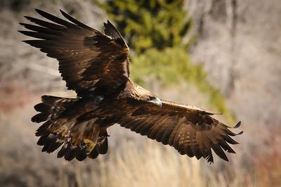 Golden Eagle-9579