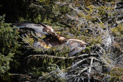 Golden Eagle-3776