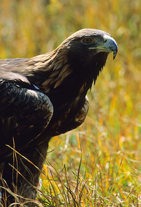 Golden Eagle-1