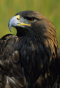Golden Eagle-2