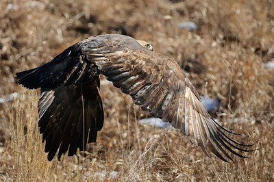 Golden Eagle-3156
