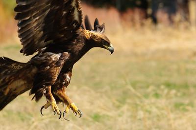 Golden Eagle-9636