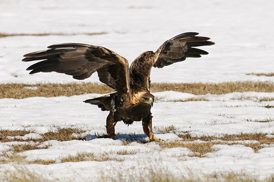 Golden Eagle-3901