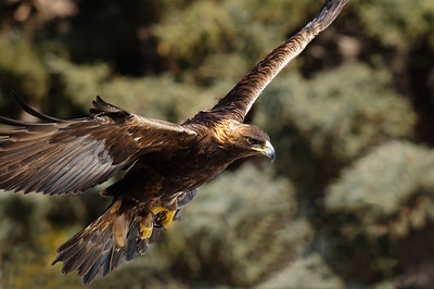 Golden Eagle-
