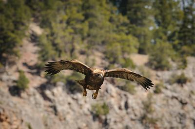 Golden Eagle-9808