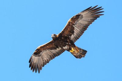 Golden Eagle-8819