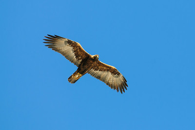 Golden Eagle-8616