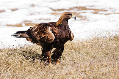 Golden Eagle-3868