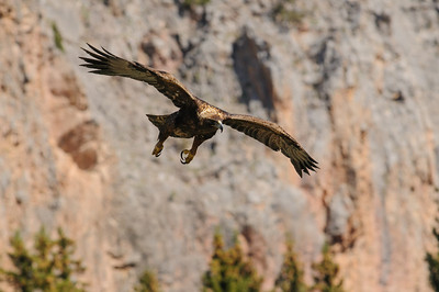 Golden Eagle-9809