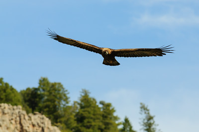 Golden Eagle-9724
