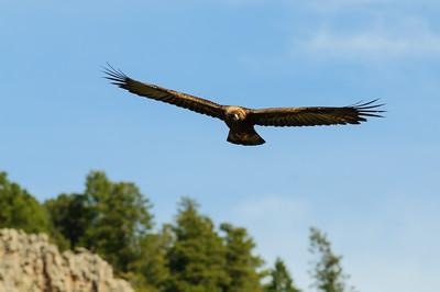 Golden Eagle-9724