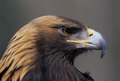 Golden Eagle-911
