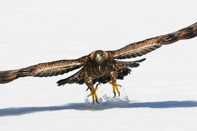 Golden Eagle-3815