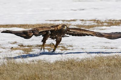 Golden Eagle-3903