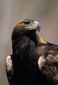 Golden Eagle-915