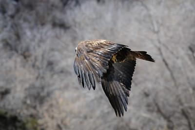 Golden Eagle-3996